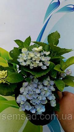 """Гортензия крупнолистная Блю Ваве \Hydrangea macrophylla """"Blue wave""""   ( саженцы  ), фото 2"""