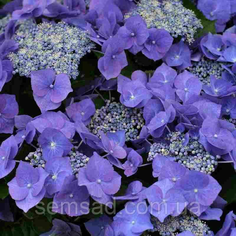 """Гортензия крупнолистная Блю Ваве \Hydrangea macrophylla """"Blue wave""""   ( саженцы  )"""