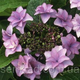 """Гортензия крупнолистная"""" Этоль Виолет"""" \ Hydrangea macrophylla Etoile violette ( саженцы )"""