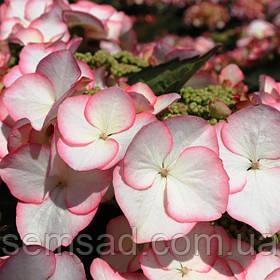 "Гортензия крупнолистная ""Чарм"" \  Hydrangea macrophylla  Charm ( саженцы  )"