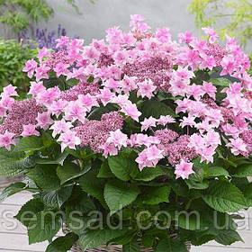 """Гортензия крупнолистная """"Допио Роза """" \  Hydrangea macrophylla  ( саженцы  )"""