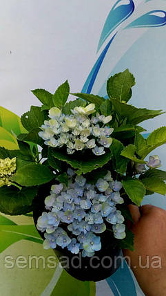 Гортензия крупнолистная Блюберд \ Hydrangea macrophylla Bluebird  ( саженцы ), фото 2