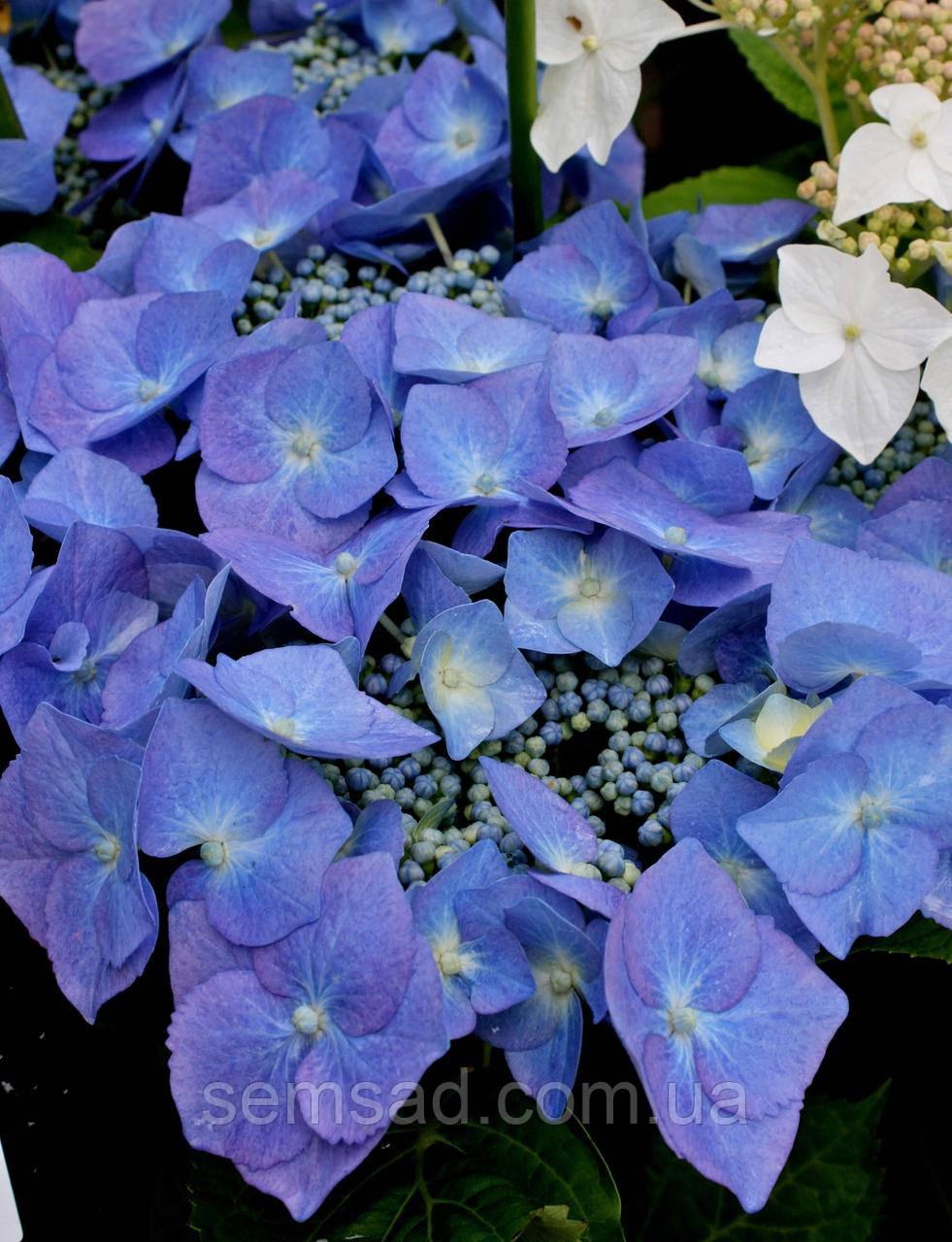 Гортензия крупнолистная Блюберд \ Hydrangea macrophylla Bluebird  ( саженцы )