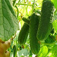 УНИКУМ F1 / UNIKUM F1 — огурец партенокарпический, Lark Seeds 100 семян