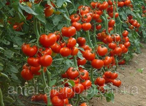 Как получить семена томатов