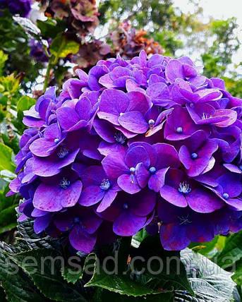 Гортензия крупнолистная Ховария Хобержин \ Hydrangea macrophylla  Hovaria Hobergine ( саженцы   ), фото 2
