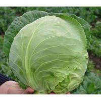Семена капусты белокочанной Оракл F1 1 шт из проф пакета, Clause