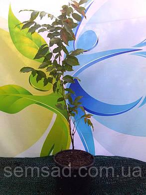 Глициния китайская Пролифик \ Wisteria sinensis 'Prolific' ( саженцы 2 года  ), фото 2