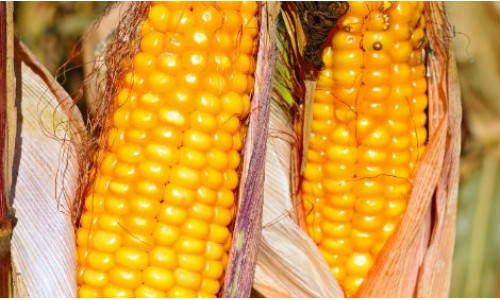 Насіння кукурудзи Гран 310, фото 2