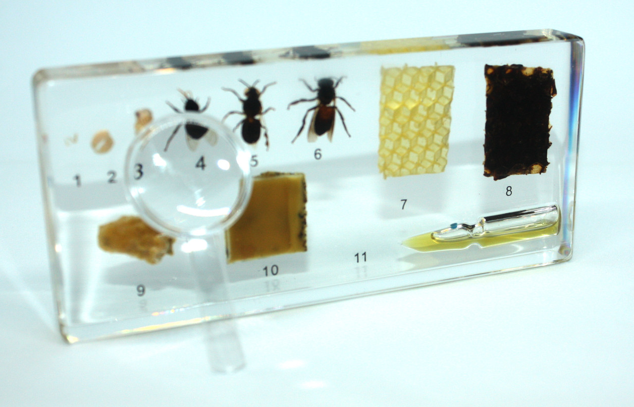 Розвиток медоносної бджоли