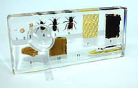 Розвиток медоносної бджоли, фото 1