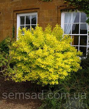 """Чубушник \ Жасмин садовый """" Эллоу Хилл \ Philadelphus Yellow Hill ( саженцы 2 года), фото 2"""
