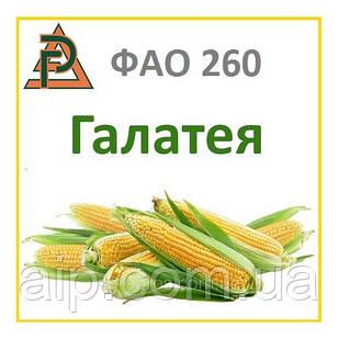 Семена кукурузы - гибрид   ДН Галатея