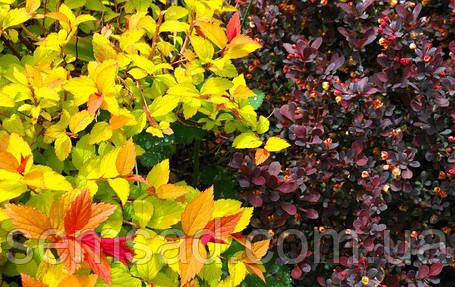 "Спирея японская ""Пинк энд Голд"" \ spiraea japonica ""Pink & Gold"" ( саженец 2г. ЗКС), фото 2"