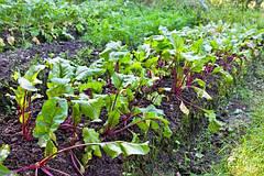 Как получить ранний урожай: посадка свеклы под зиму на открытом грунте