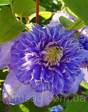 Клематис Блю Лайт \ clematis 'Blue Light'  ( саженец  р9 ), фото 2