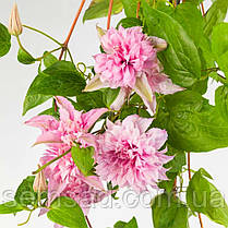 Клематис Мульти Пінк \ Clematis Multi Pink®TM ( саджанець р9 ), фото 3