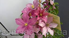 Клематис Розамунда \  clematis Rosamunde ( саженец  р9 ), фото 2
