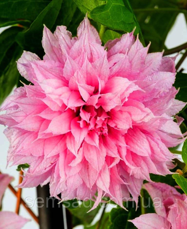 Клематис Мульти Пінк \ Clematis Multi Pink®TM ( саджанець р9 )