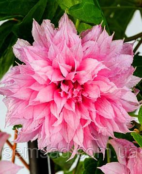 Клематис Мульти Пінк \ Clematis Multi Pink®TM ( саджанець р9 ), фото 2