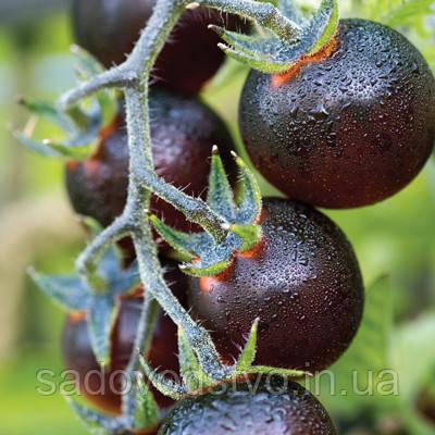 Томат  Индиго Синие ягоды