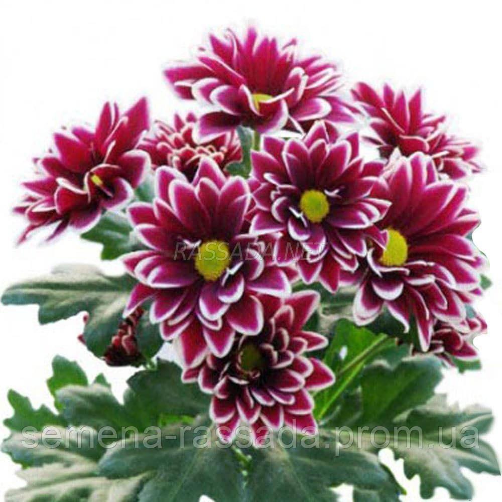 Хризантема Вискоза сиреневая, красная. Черенок. Отгрузка май / июнь 2020 г