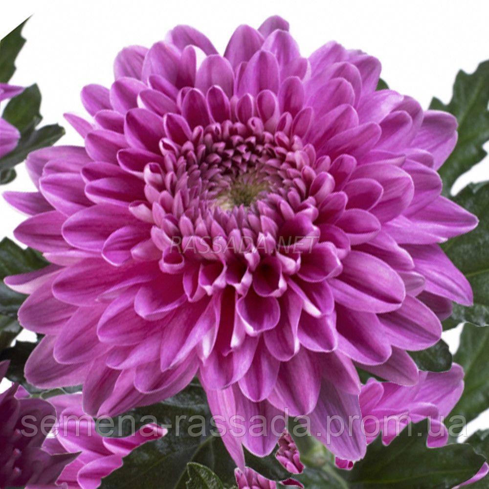 Хризантема Резоме тёмно-сиреневая. Черенок. Отгрузка май / июнь 2020 г