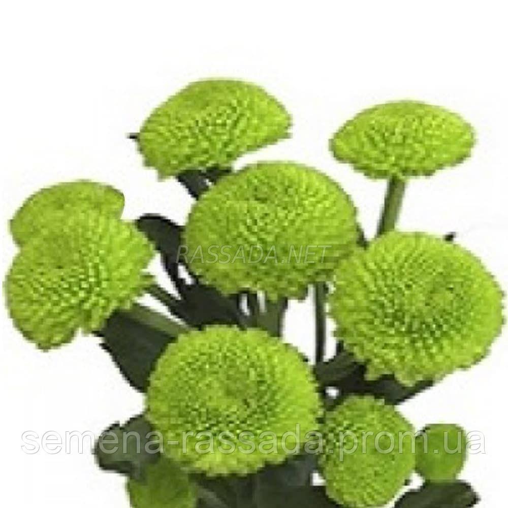 Хризантема Филлигрим зелёная. Черенок. Отгрузка май / июнь 2020 г