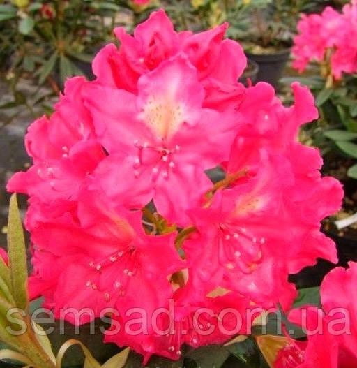 "Рододендрон "" Ян III Собеский ""  ( саженцы 2 года ЗКС ) Rhododendron Jan III Sobieski"