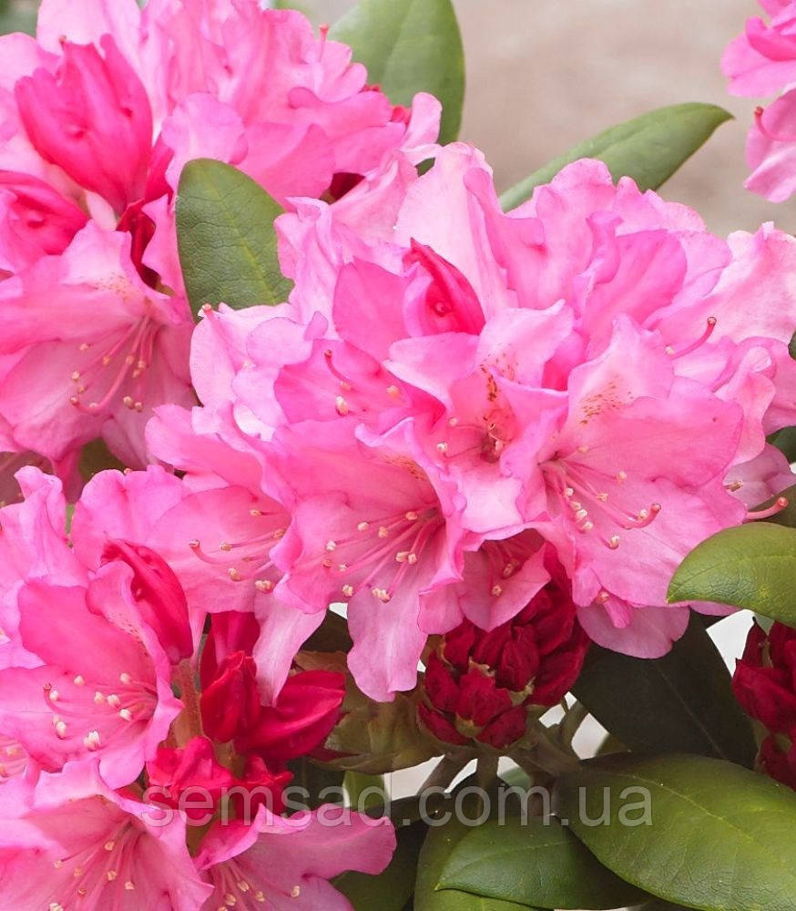 "Рододендрон "" Маракеш"" ( саженцы  2 года ЗКС ) Rhododendron  'Marakesh'"