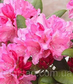 "Рододендрон "" Маракеш"" ( саженцы  2 года ЗКС ) Rhododendron  'Marakesh', фото 2"