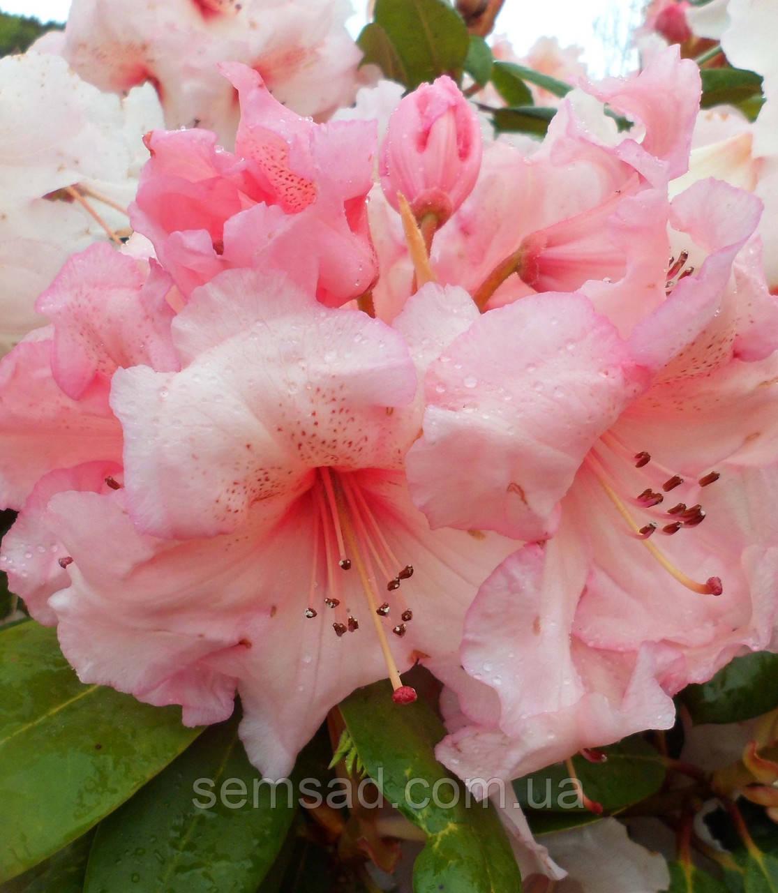 """Рододендрон  вечнозеленый """" Вирджиния Ричард """" (саженцы 2 года ) Rhododendron ''Virginia Richards''"""