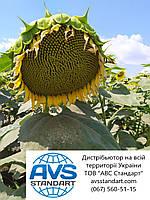 Насіння соняшника ЛЕЙЛА, Купити високоврожайний гібрид ЛЕЙЛА стійкий до вовчка А-F. Екстра, фото 1