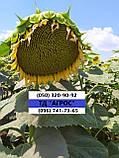 Насіння соняшника ЛЕЙЛА, Ціна на врожайний гібрид ЛЕЙИЛА стійкий до вовчка шости рас А-F., фото 2