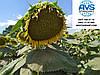 Высокоурожайный сорт кондитерского подсолнечника Джинн 34-36 ц/га. Сорт устойчив к заразихе A-F. 1 Репродукция