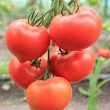 Белфорт F1 / Bellfort F1 - індетермінантний томат, Enza Zaden. 500 насінин, фото 2
