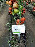 Максин F1 / Maksin F1 - Томат Индетерминантный, Hazera. 500 семян, фото 2