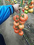 Максин F1 / Maksin F1 - Томат Индетерминантный, Hazera. 500 семян, фото 4