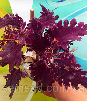 """Колеус гибридный """" Вилдфаер Флеш""""  № 67 \ Coleus hybridus Wildfire Flash( саженцы), фото 2"""