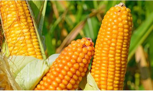 Насіння кукурудзи ВН 6763, фото 2
