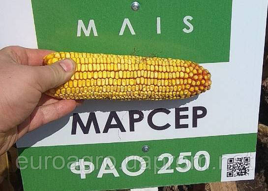 Семена кукурузы Марсер от МАИС (Черкассы), фото 2