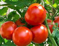 Семена томата  Саргас F1 1 шт из проф пакета, Yuksel Tohum