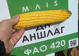 Силосный гибрид  ДН Аншлаг ФАО 420 от МАИС (Черкассы)