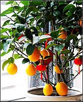 Лимонне дерево в домашніх умовах! Упаковка 30 шт., фото 1