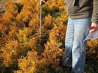 Туя западная золотистая, вересовидная, Ельвангера, фото 1