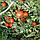 Семена томата Полбиг F1, Bejo 5 грамм | профессиональные, фото 5