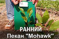 """Пекан орех саженец сорт """"Mohawk"""" (ранний) кария саджанці горіх карія Carya illinoinensis (однолетний), фото 1"""