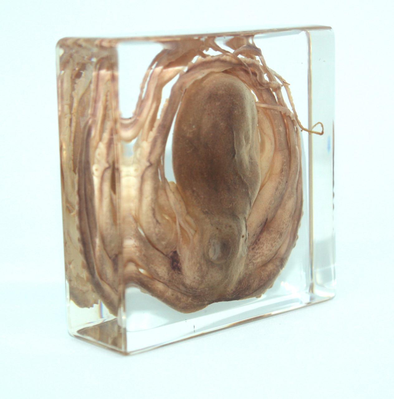 Модель восьминіг (в прозорому пластику)