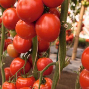 Семена томата Томоко F1, Bejo 1 000 семян   профессиональные