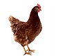 Инкубационное яйцо Доминант Чехия, фото 4